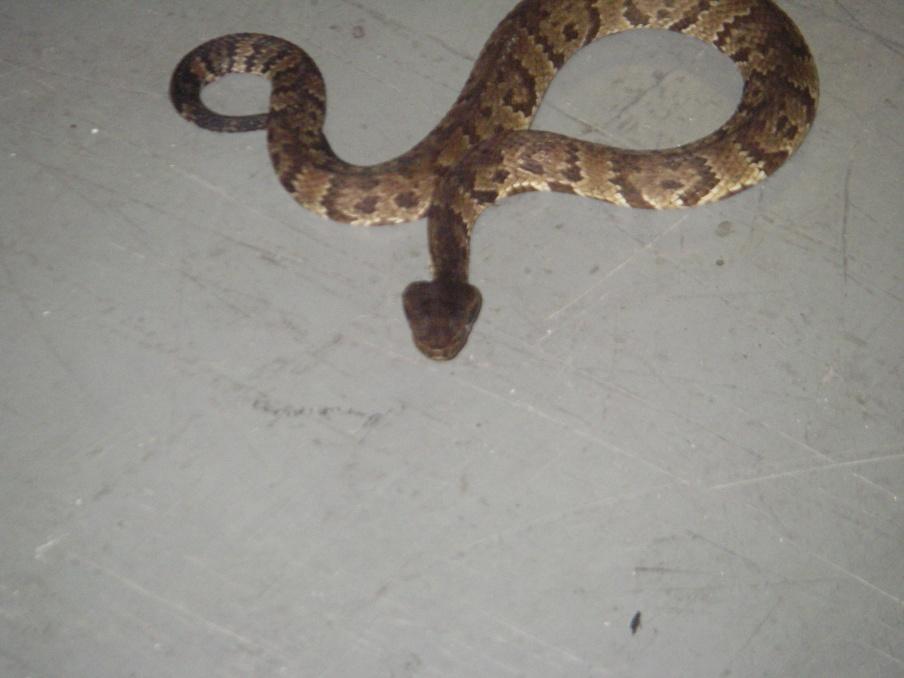 Copperheaded rattlemouth pics-012-jpg