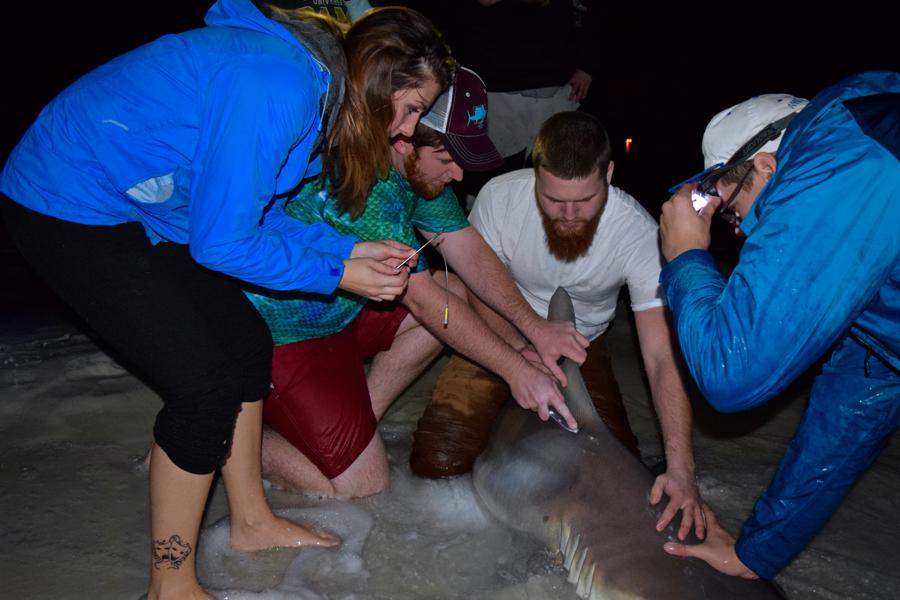 1-5-17 [Thick 85'' Sandbar Shark]-1-5-shark-tagging-1-jpg
