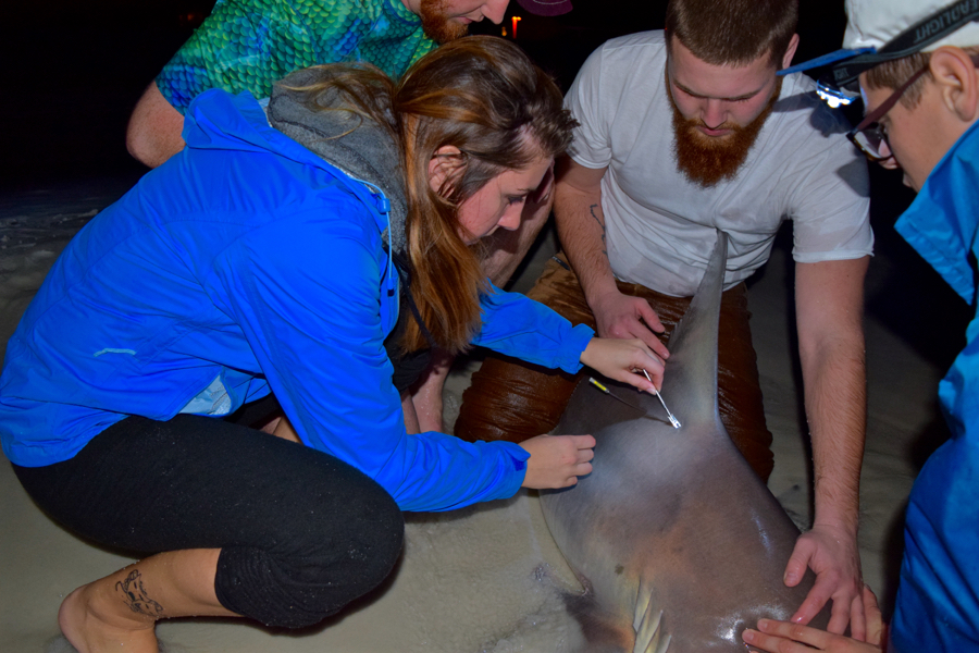 1-5-17 [Thick 85'' Sandbar Shark]-1-5-shark-tagging-2-jpg