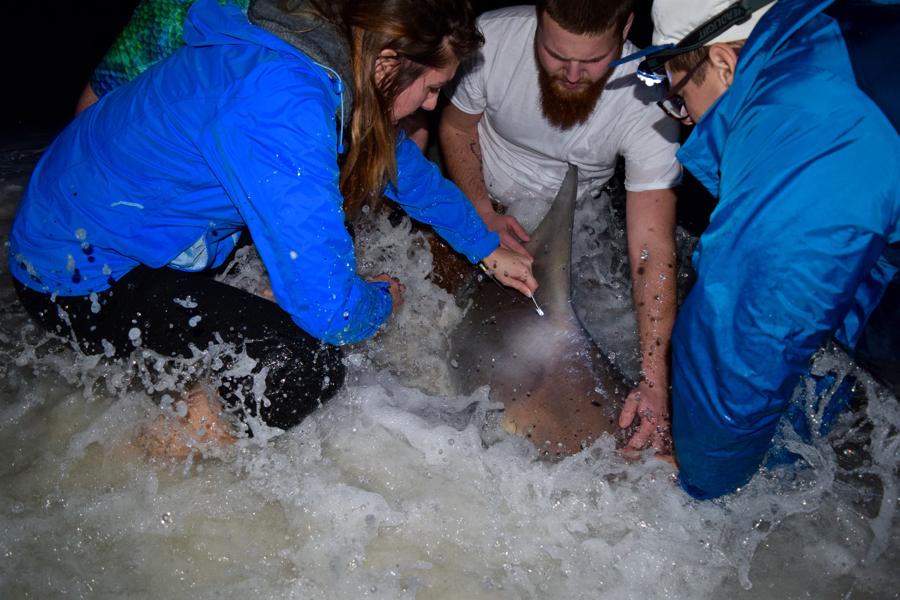 1-5-17 [Thick 85'' Sandbar Shark]-1-5-shark-tagging-3-jpg
