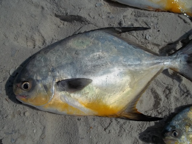 "22 1/4"" Pompano and 10 more Wow Wow Wow what a day!!!-100_2275-jpg"