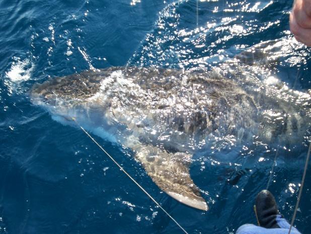 Need help identifying shark-100_3125-jpg