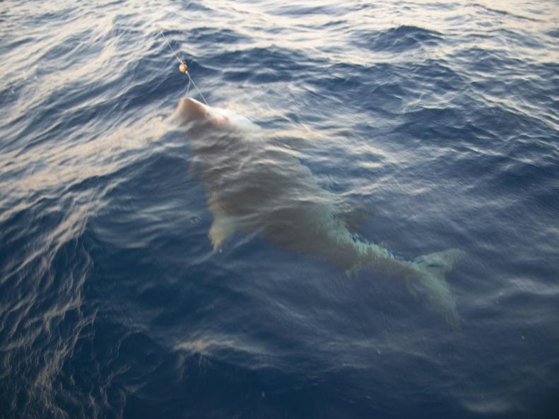 Need help identifying shark-101_0458-jpg