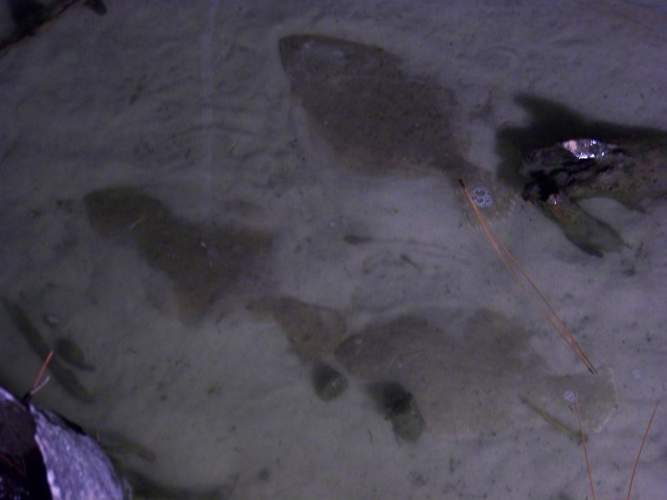 Flounder Movement-103_1252-jpg