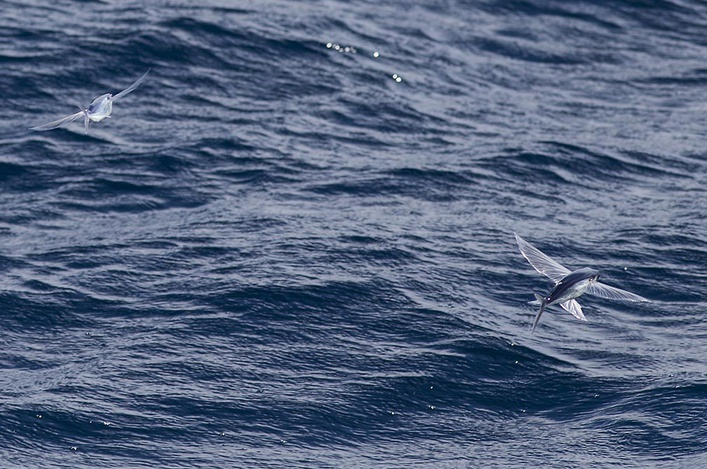 Maersk Developer - Tunas, Orcas-20141016_fishing_instigator_0135-jpg