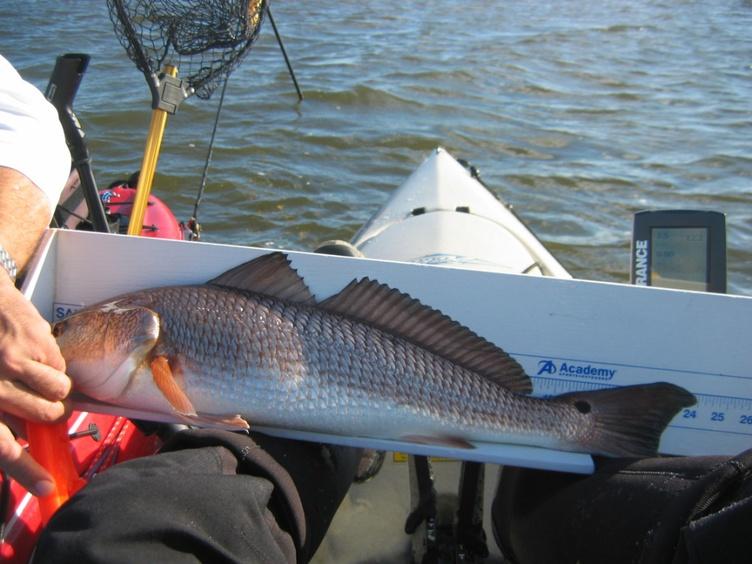 Simpson River - 8 Feb-23-inch-redfish-1-jpg