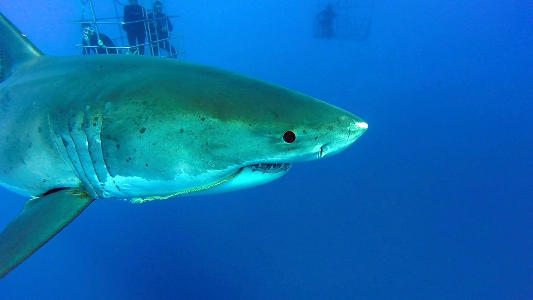 Guadalupe Island - Diving With Great Whites-245-3-jpg