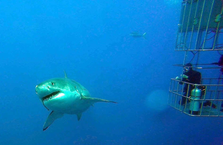 Guadalupe Island - Diving With Great Whites-245-9-jpg