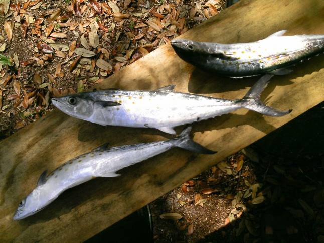 1st kayak caught fish-3spanish3-29-12-jpg