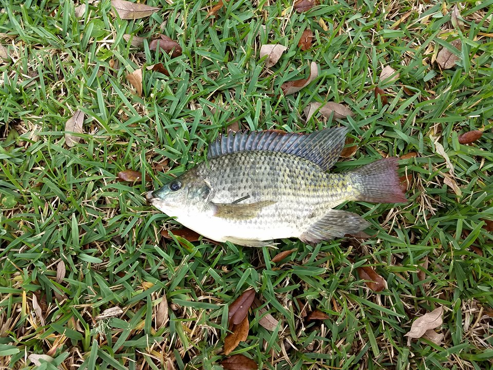 Fish ID????-60251120_10101538295046692_63359825702027264_n-jpg