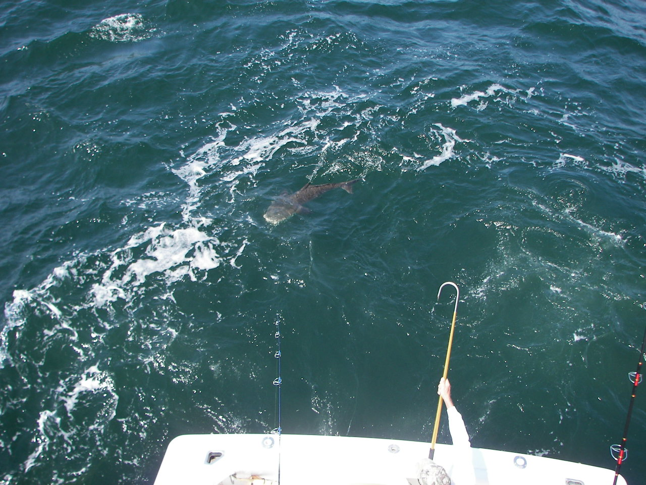 Cobia Season Primer-71-cobes-april-007-jpg