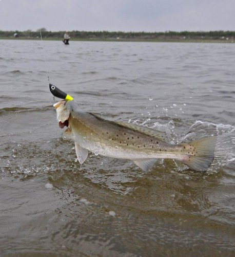 Big Trout on the Move in Louisiana-_wtd9161_edited-1-jpg