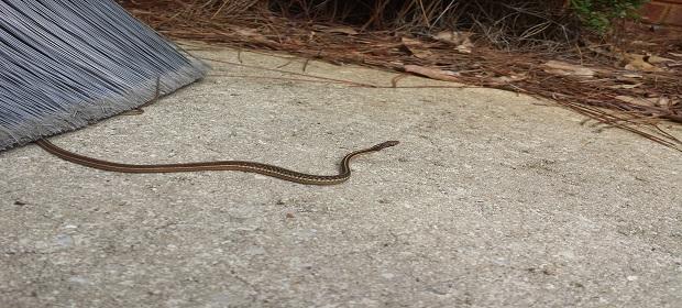 Snake ID-asdfasfasdf-jpg