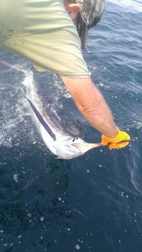 Legacy offshore trolling 8/2/14-august_2_marlin-jpg
