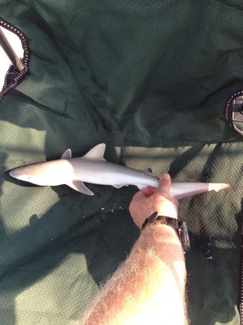 Fort Pickens 6/15-16-baby-shark-15-june-13-jpg