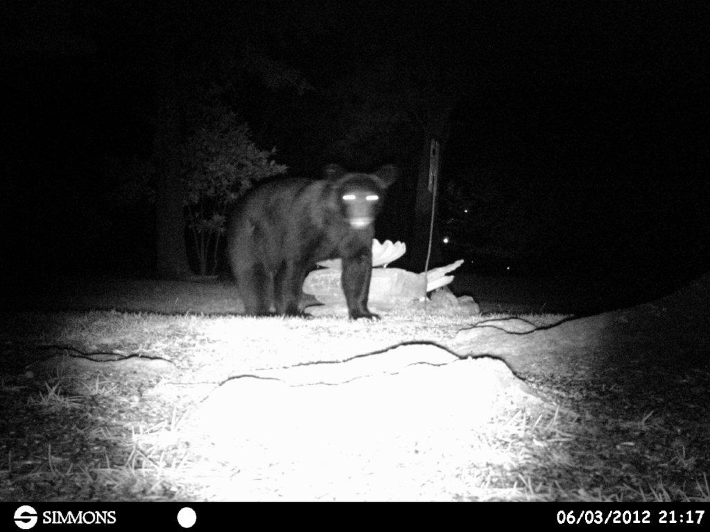 For those of you on Garcon Point-bear-jpg