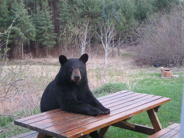 White Trout question!-bear-waits-fer-dinner-jpg