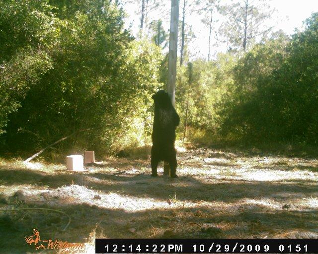 open season on bears?-bearpole-jpg