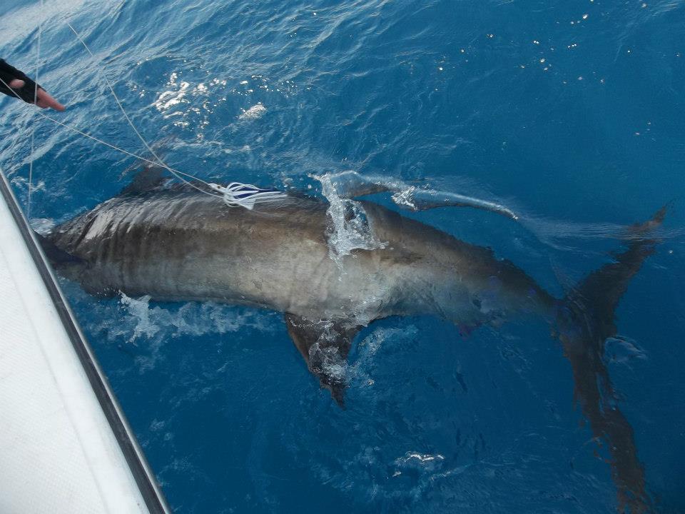 Elbow report-blue-marlin-jpg