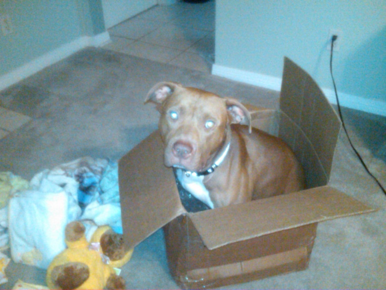 Young Red Nose Pit for Adoption-bruno-ii-1-jpg