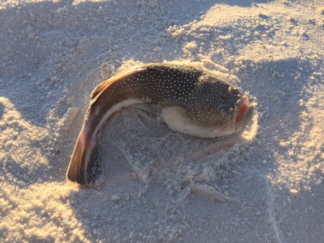 Please help me identify this fish caught in the surf-caught-pensacola-beach_10-21-18-jpg