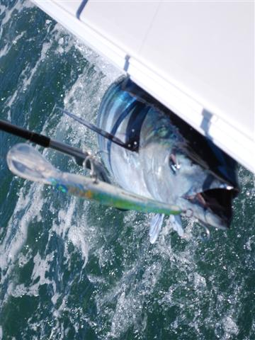 Offshore Venice-Wahoo Chronicles-csc_0549-small-jpg