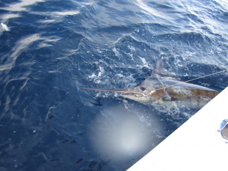 Tuna/Dolphin/Marlin/Amberjack-dec2011-006-jpg