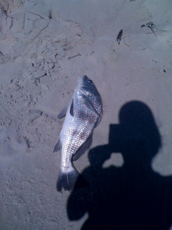 looks like it's a great day for surf fishing today...-drum-jpg