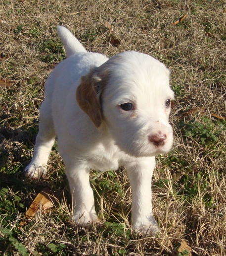 English Setter - Bird Dog for sale - Pensacola Fishing Forum