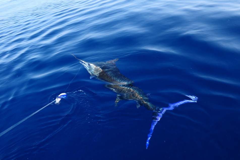 June 12 blue marlin-dsc_0169-jpg