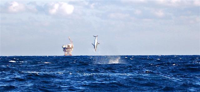 Offshore Venice-Pelagic update.-dsc_0552_edited-small-jpg