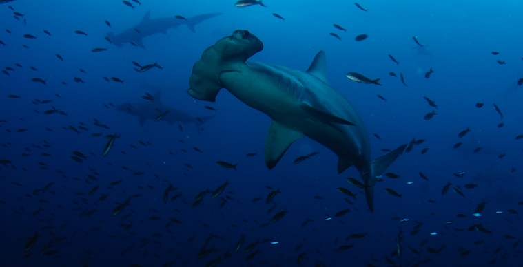 Close encounter with a Hammerhead Shark-dsc_0936-jpg