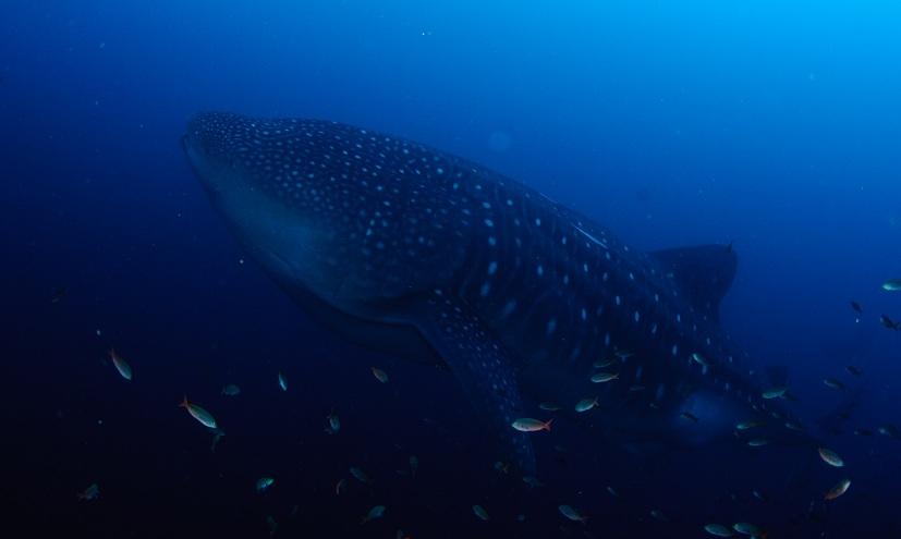 Close encounter with a Hammerhead Shark-dsc_0958-jpg