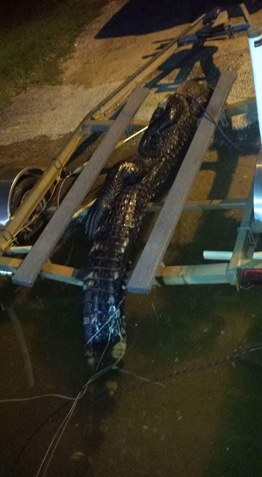 A True Florida Gator-fb_img_1440540225892-jpg