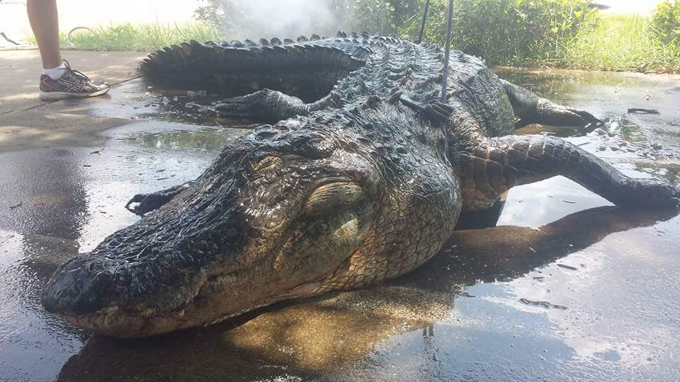 A True Florida Gator-fb_img_1440540233808-jpg