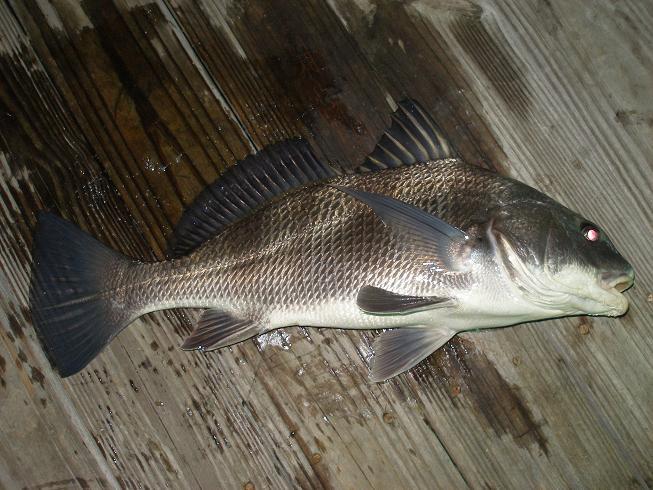 Gulf Shores area fishing from shore-fish-015-jpg