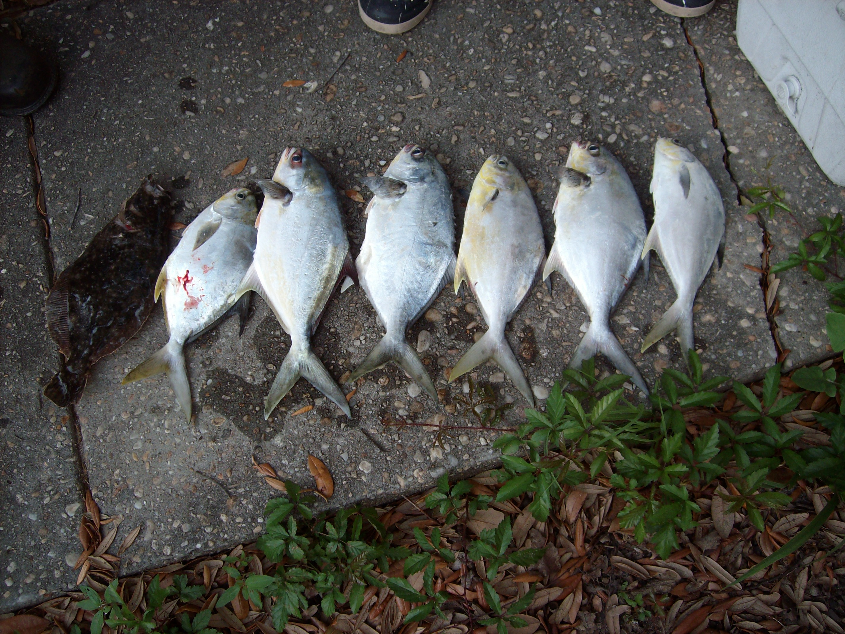 pictures-fish-popano-003-jpg
