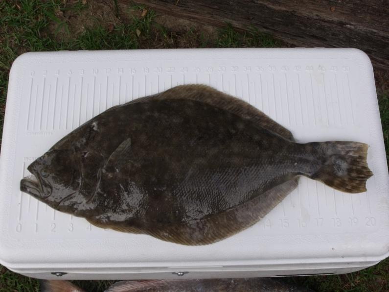 Go Early-flounder-5-11-11-006-jpg