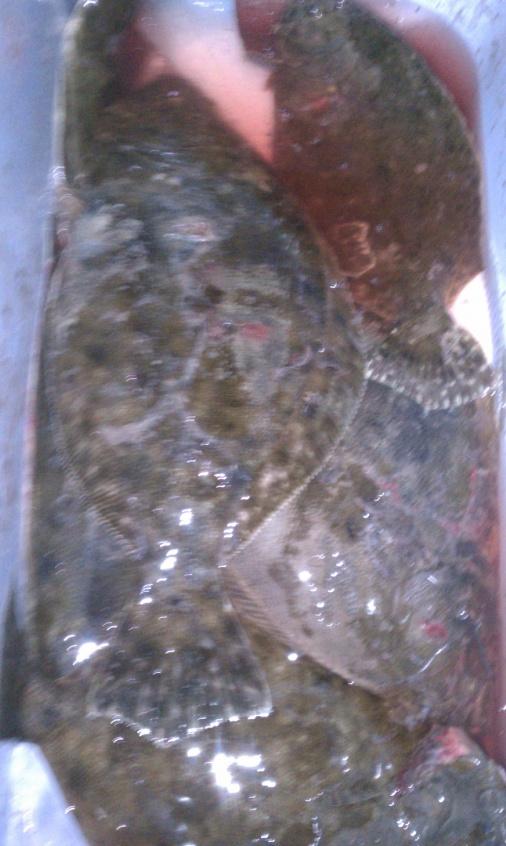 6/31/11 trip-flounder-6-31-111-jpg
