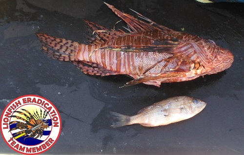 Hungry Hungry Lionfish-hungry_lionfish_small-jpg