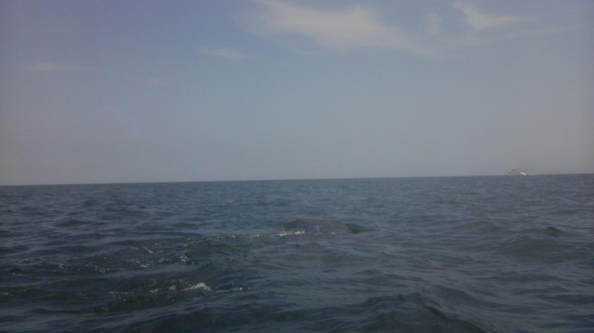 Whale Shark off Navarre Beach 08/18-imag0901-jpg