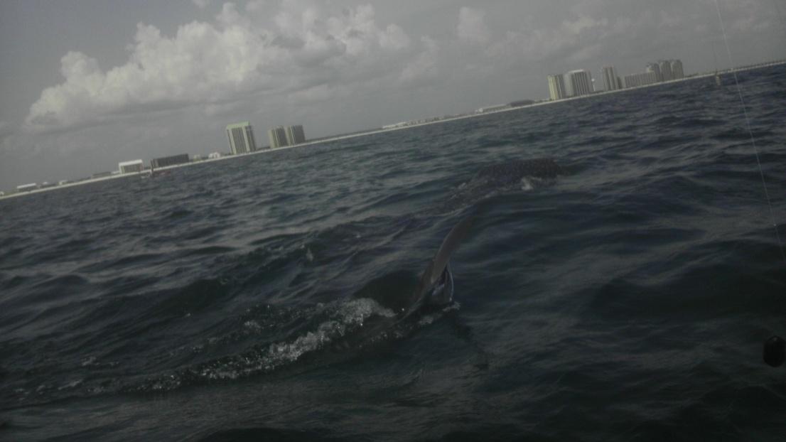 Whale Shark off Navarre Beach 08/18-imag0902-jpg