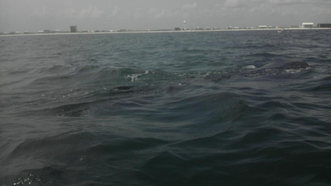 Whale Shark off Navarre Beach 08/18-imag0903-jpg