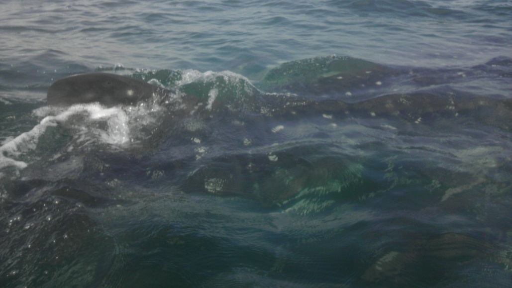 Whale Shark off Navarre Beach 08/18-imag0905-jpg