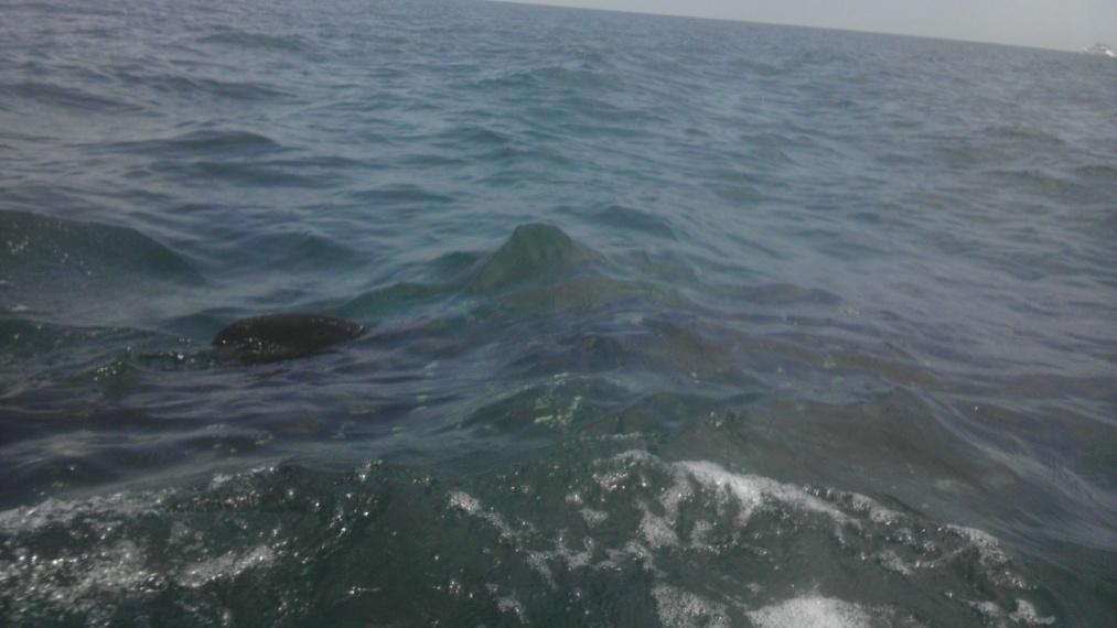 Whale Shark off Navarre Beach 08/18-imag0906-jpg