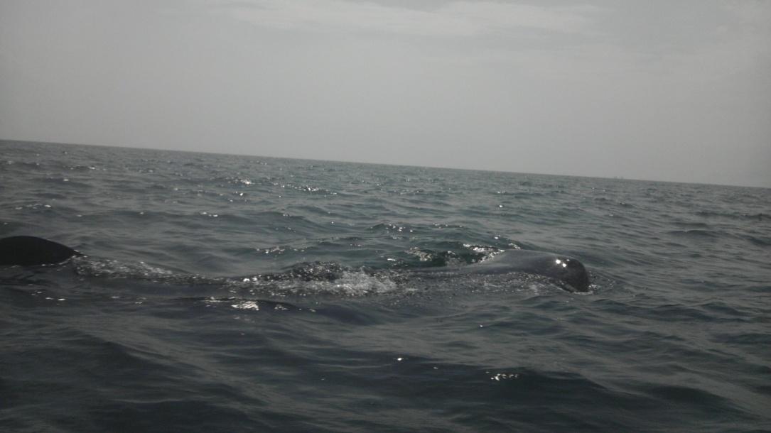 Whale Shark off Navarre Beach 08/18-imag0907-jpg