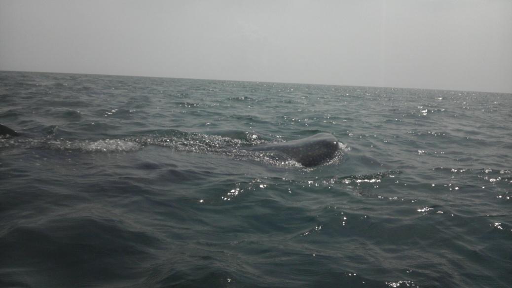 Whale Shark off Navarre Beach 08/18-imag0908-jpg