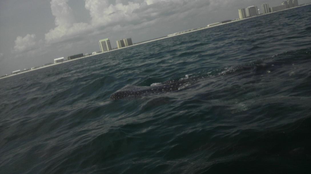 Whale Shark off Navarre Beach 08/18-imag0909-jpg