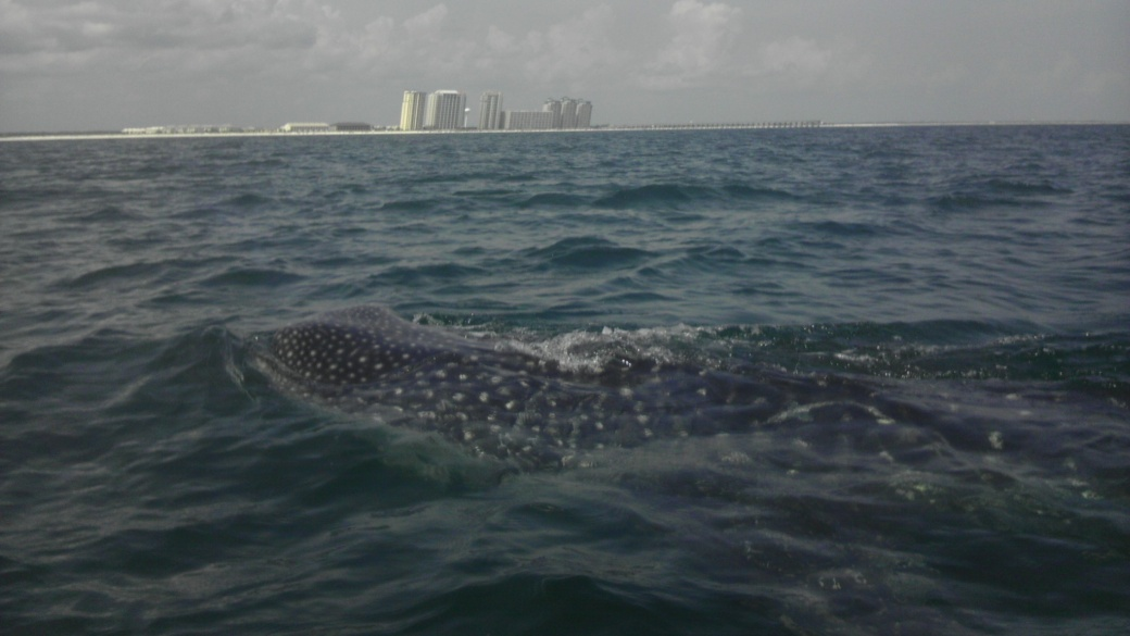 Whale Shark off Navarre Beach 08/18-imag0910-jpg