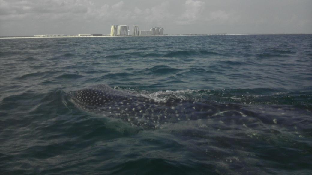 Whale Shark off Navarre Beach 08/18-imag0910-jpg
